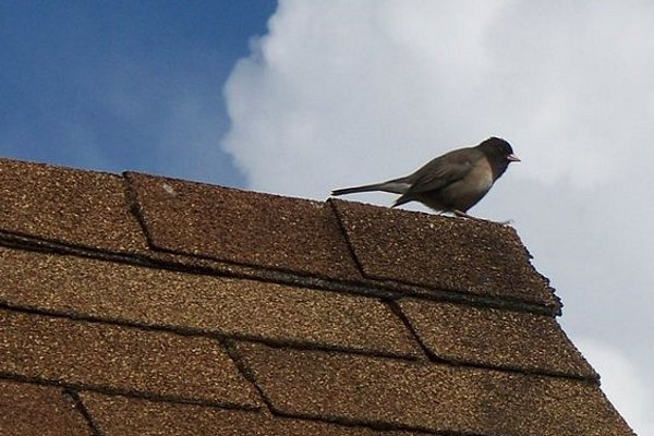 bird perched on top of asphalt shingle roof